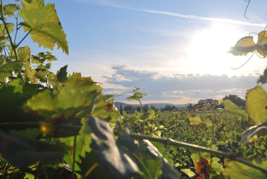 У Франції триває спека: урожайність винограду може впасти до 13%